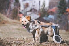 Perro con incapacidades en una silla de ruedas Imagenes de archivo