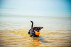 Perro con la bola en agua imagen de archivo