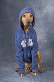 Perro con la chaqueta Fotos de archivo