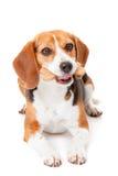 Perro con la galleta Imágenes de archivo libres de regalías