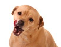 Perro con la lengüeta hacia fuera Foto de archivo