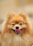 Perro con la lengua Fotografía de archivo