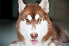 Perro con la lengua Imagen de archivo