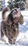 Perro con la lengua hacia fuera para coger nieve Fotografía de archivo