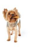 Perro con la masticación del palillo en la boca imagenes de archivo