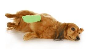 Perro con la pata herida Foto de archivo libre de regalías