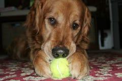 Perro con la pelota de tenis Fotos de archivo
