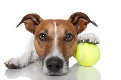 Perro con la pelota de tenis foto de archivo