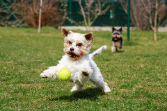 Perro con la pelota de tenis Fotografía de archivo libre de regalías