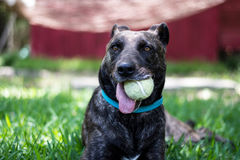 Perro con la pelota de tenis Imagen de archivo