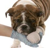 Perro con la pierna quebrada imagen de archivo