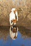 Perro con la reflexión foto de archivo