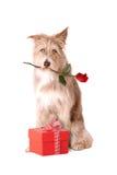 Perro con la rosa y el presente del rojo Imagen de archivo libre de regalías