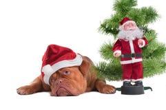 Perro con las decoraciones de la Navidad Fotos de archivo
