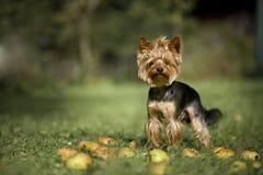 Perro con las manzanas Imagenes de archivo
