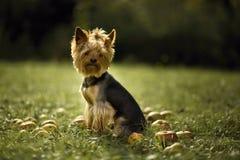 Perro con las manzanas Foto de archivo libre de regalías