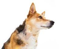 Perro con las puntadas después de la cirugía Foto de archivo libre de regalías