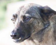 Perro con los dientes incorrectos, primer, primer Imagenes de archivo