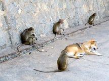 Perro con los monos, Tailandia Imagenes de archivo