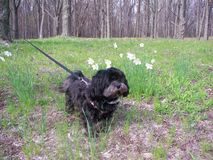 Perro con los narcisos Foto de archivo libre de regalías