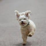 Perro con los oídos de elefante Fotos de archivo libres de regalías