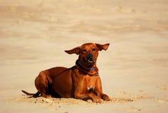 Perro con los oídos del vuelo Fotos de archivo
