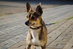 Perro con los oídos grandes Fotos de archivo