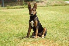 Perro con los ojos atentos, dañosos y los oídos derechos que se sientan en la hierba verde fotografía de archivo