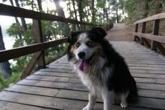 Perro con los ojos azules y la lengua de la ejecución Fotografía de archivo