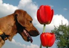 Perro con los tulipanes Imagen de archivo