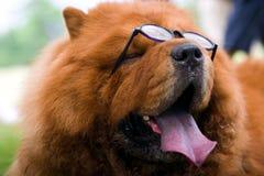 Perro con los vidrios Imagenes de archivo