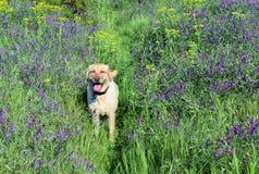 Perro con los Wildflowers Imágenes de archivo libres de regalías