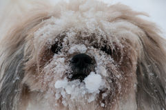 Perro con su nariz cubierta en nieve Fotos de archivo libres de regalías