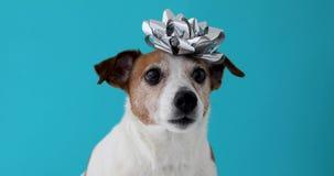 Perro con un arco en su cabeza almacen de video