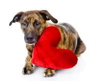 Perro con un corazón rojo Aislado en el fondo blanco Fotos de archivo