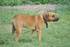 Perro con un cuello Imagenes de archivo