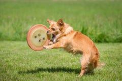 Perro con un disco volador Imágenes de archivo libres de regalías