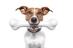 Perro con un hueso blanco Foto de archivo