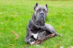 Perro con un palillo Foto de archivo