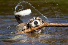 Perro con un palillo en el agua Fotos de archivo libres de regalías