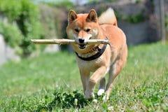 Perro con un palillo en el prado Imagenes de archivo