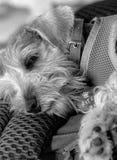 Perro con una capa Imágenes de archivo libres de regalías