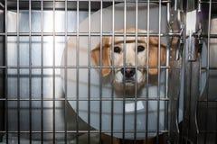 Perro convaleciente con el cuello isabelino Imagen de archivo libre de regalías