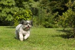 Perro corriente blanco lindo Fotos de archivo