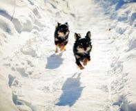 Perro corriente de la chihuahua Foto de archivo libre de regalías