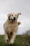 Perro corriente del perro perdiguero de oro Foto de archivo