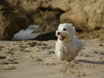 Perro corriente divertido en la playa Foto de archivo