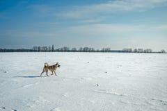 Perro corriente en campo del invierno Imagen de archivo