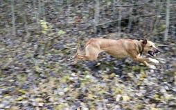 Perro corriente en el bosque del otoño Foto de archivo libre de regalías