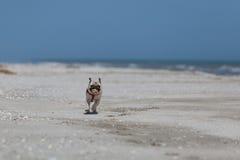 Perro corriente en la playa que sostiene una bola fotografía de archivo libre de regalías